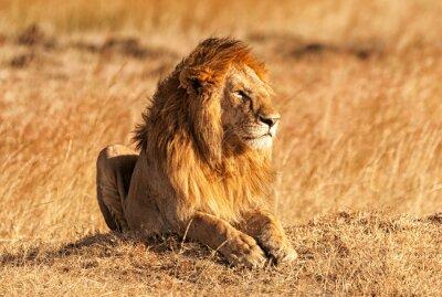 Poster Leão masculino no Masai Mara