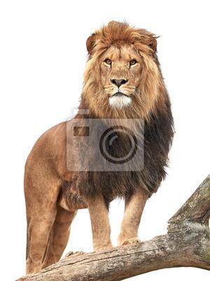 Poster Leão (Panthera leo)