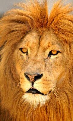 Poster leão sozinho