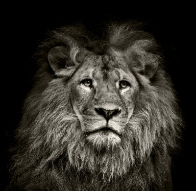 Poster leão triste