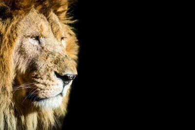 Poster leone - leão