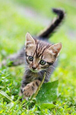 Poster Listras marrons gatinho bonito andando na grama