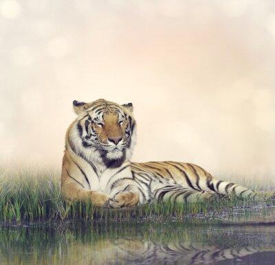Poster Macho, tigre, Descansar