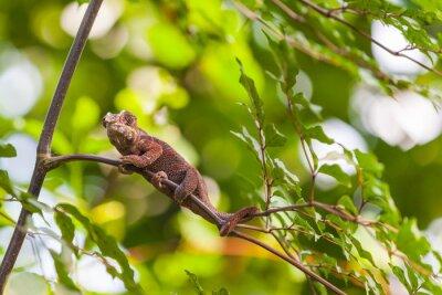 Poster Madagascar Lizard