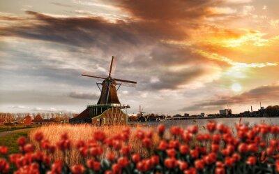 Poster Moinhos de vento holandeses com tulipas vermelhas fechar a Amsterdã, na Holanda
