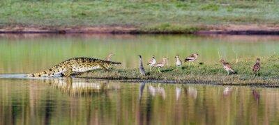 Poster Nilo, crocodilo, Kruger, nacional, parque, África do Sul