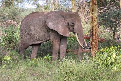 Poster O elefante adulto com as presas grandes está no perfil perto do tronco de árvore. Lago Manyara National Park, Tanzânia, África.