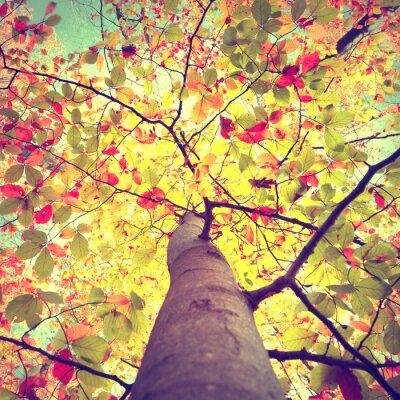 Poster O sol sazonal do outono bonito do vintage que brilha através da árvore colorida das folhas da faia. Olhe para a coroa de árvores ensolaradas do outono.