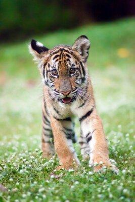 Poster O tigre de bebê de Bengal está andando através de um prado.