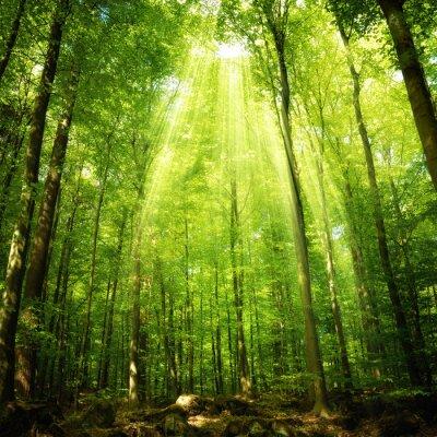 Poster Os raios do sol na floresta de faia