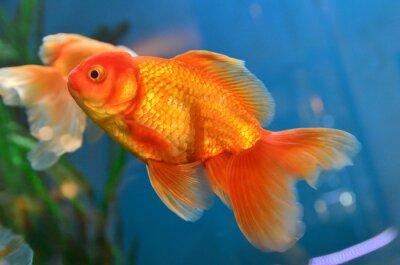 Poster Ouro peixe, goldfish subaquático