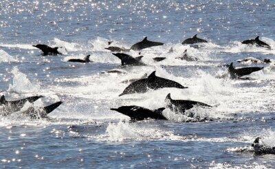 Poster Pacific Stampede golfinho comum