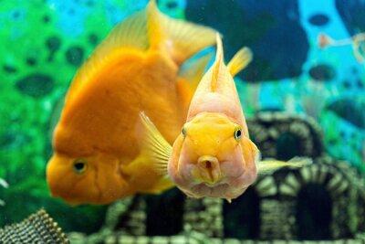 Poster Parrotfish no aquário closeup