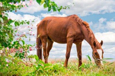 Poster Pastando marrom Cavalo no verde Pastagem com uma natureza bonita