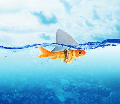 Poster Peixe vermelho como tubarão