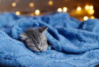 Poster Pequeno gatinho dormindo sob um cobertor
