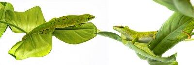 Poster Phelsuma madagascariensis - gecko isolado no branco
