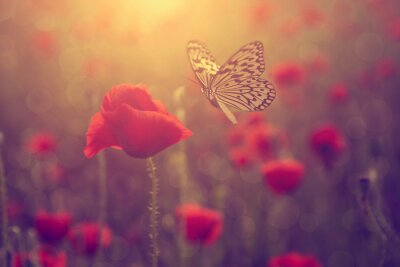 Poster Poppy e borboleta