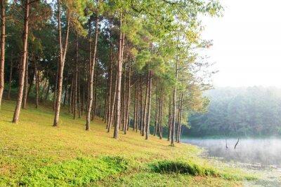 Poster Raios de sol em Spruce Natural Woodland