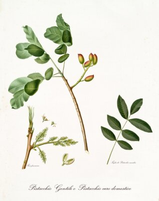 Poster ramo de pistache com folhas e outros elementos botânicos. Toda a composição é isolada sobre o fundo branco. Antiga ilustração botânica detalhada por Giorgio Gallesio publicada em 1817, 1839