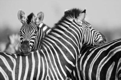 Poster Rebanho da zebra na foto preto e branco com as cabeças juntas