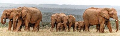 Poster Rebanho de elefantes