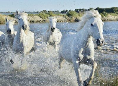 Poster Rebanho dos cavalos brancos Correr e espirrando através da água