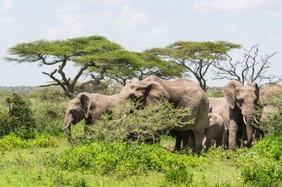 Poster Rebanho, elefantes, ficar, entre, Acácia, árvores, Serengeti, savana, paisagem
