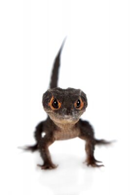 Poster Red-eyed crocodilo skinks, tribolonotus gracilis, em branco