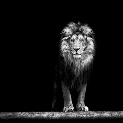Poster Retrato, bonito, leão, leão, escuro