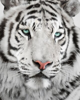 Poster Retrato branco elegante do tigre