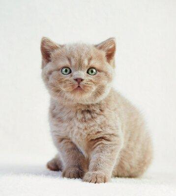 Poster Retrato, britânico, shortinho, cabelo, gatinho
