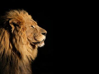 Poster Retrato de um grande leão Africano masculino no preto