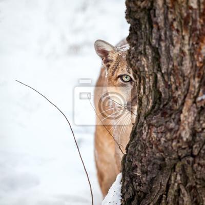 Poster Retrato de um puma, leão de montanha, puma, puma atrás de uma árvore.