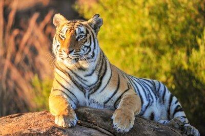 Poster Retrato de um tigre