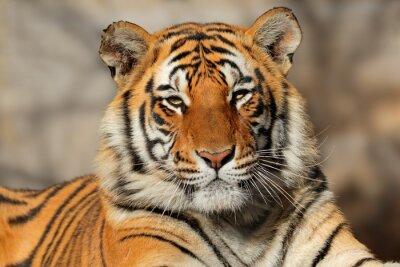 Poster Retrato de um tigre de Bengala (Panthera tigris bengalensis).