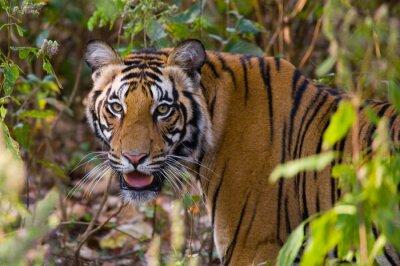 Poster Retrato de um tigre no selvagem. Índia. Bandhavgarh National Park. Madhya Pradesh. Uma excelente ilustração.
