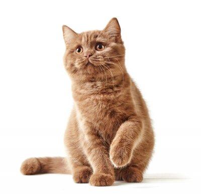 Poster Retrato do gatinho britânico