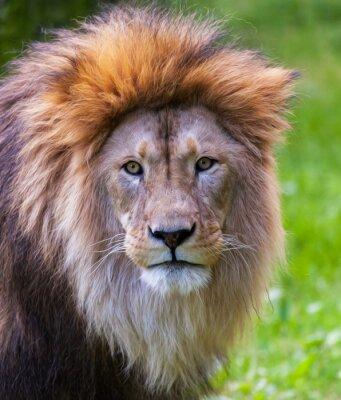 Poster Retrato do leão