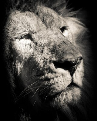 Poster Retrato do leão - foto preto e branco