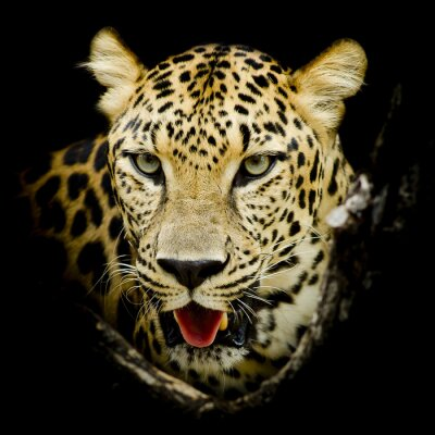 Poster Retrato do leopardo