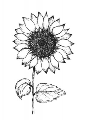 Poster Retro black outline ink pen sketch of sunflower. Hand drawn illustration of beautiful sun flower isolated on white background for botanical pattern design, greeting card decoration