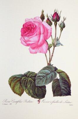 Poster Rosa centifolia bullata / Rosa à folhas de leite
