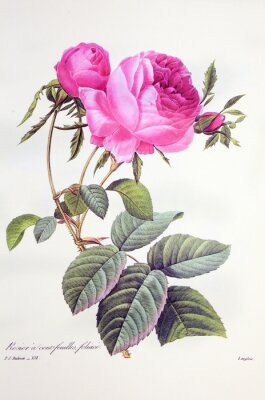 Poster Rosa centifolia / foliacé Rose Centfeuilles