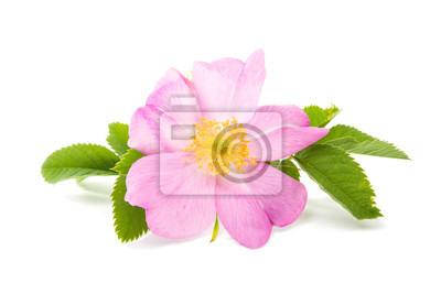 rosa selvagem tira melasma