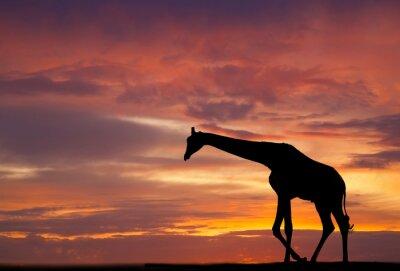 Poster Silhueta de uma girafa contra um belo pôr do sol
