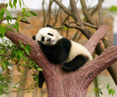 Poster Sono do bebê panda gigante