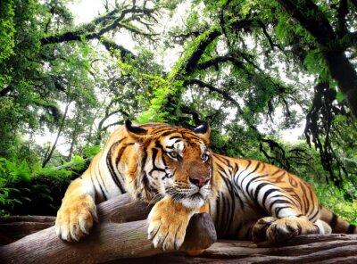 Poster Tiger procurando algo sobre a rocha na floresta evergreen tropical