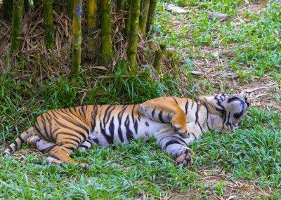 Poster Tigre asiático.