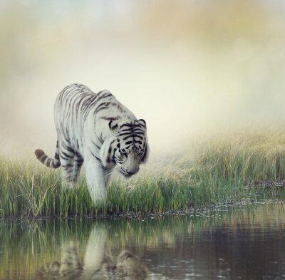 Poster Tigre Branco